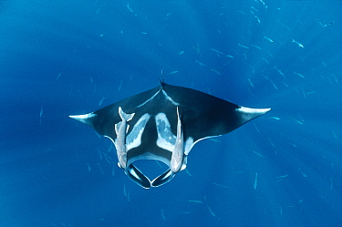 Manta Ray (Manta birostris) with two Remora (Remora remora) attached to it, Hallcion Reef, Cocos Island, Costa Rica