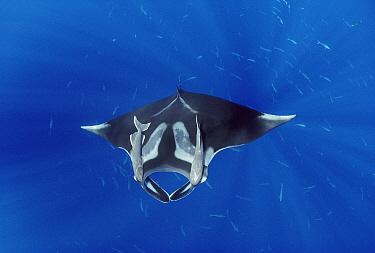 Manta Ray (Manta birostris) with two Remora (Remora remora) attached to it, Hallcion Reef, Cocos Island, Costa Rica