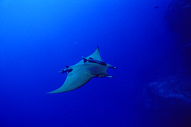Mobula Ray (Mobula mobular) swimming with attached Remoras (Remora remora), Cocos Island, Costa Rica  -  Flip Nicklin