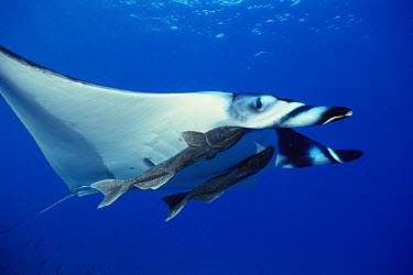 Manta Ray (Manta birostris) with two Remora (Remora remora) attached to it, over Hallcion Reef off of Cocos Island, Costa Rica  -  Flip Nicklin