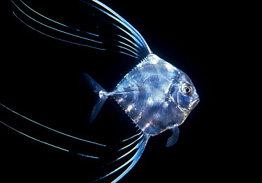 Pompano (Trachinotus sp) juvenile off of Manualita Island on the west side of Cocos Island, Costa Rica  -  Flip Nicklin