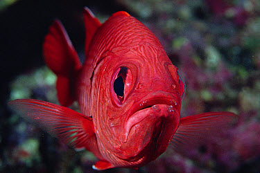 Squirrelfish (Holocentrus sp) portrait, Cocos Island, Costa Rica  -  Flip Nicklin