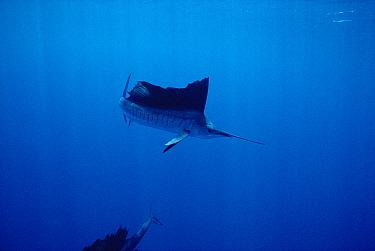Pacific Sailfish (Istiophorus platypterus) swimming off of Manualita Island on the west side of Cocos Island, Costa Rica  -  Flip Nicklin