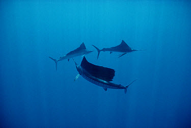 Pacific Sailfish (Istiophorus platypterus) trio swimming off of Manualita Island on the west side of Cocos Island, Costa Rica  -  Flip Nicklin