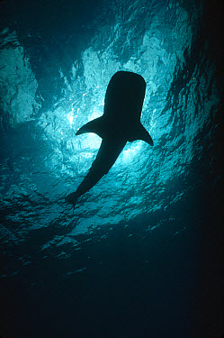 Whale Shark (Rhincodon typus) portrait silhouetted against sun, largest shark species, threatened, Cocos Island, Costa Rica  -  Flip Nicklin