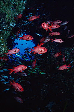 Squirrelfish (Holocentrus sp) schooling at reef, Cocos Island, Costa Rica  -  Flip Nicklin