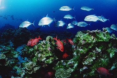Cavalla (Caranx sp) and Squirrelfish (Holocentrus sp) schools patrolling reef, Cocos Island, Costa Rica  -  Flip Nicklin