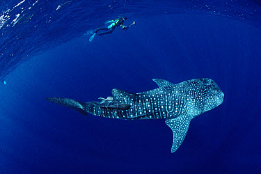 Whale Shark (Rhincodon typus) and snorkeler, Cocos Island, Costa Rica  -  Flip Nicklin