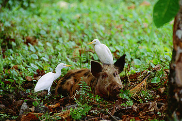 Feral Pig (Sus scrofa) captured by park wardens with Cattle Egrets, introduced species that disturbs natural vegetation, Cocos Island, Costa Rica  -  Flip Nicklin