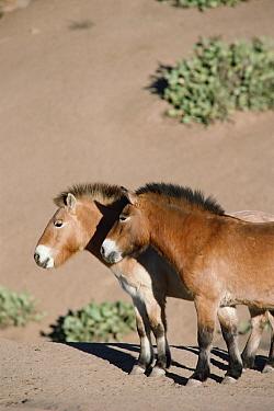 Przewalski's Horse (Equus ferus przewalskii) pair, China  -  Jim Brandenburg