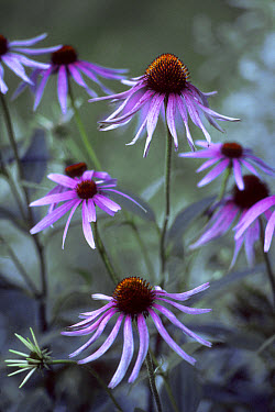 Coneflower (Echinacea sp) field, Wisconsin  -  Jim Brandenburg