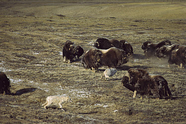 Arctic Wolf (Canis lupus) pack hunting Muskox (Ovibos moschatus) herd, Ellesmere Island, Nunavut, Canada  -  Jim Brandenburg
