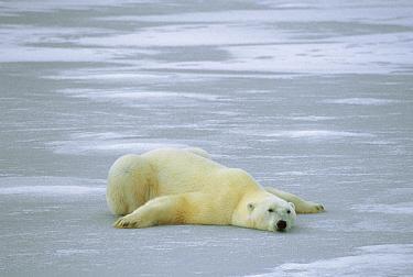 Polar Bear (Ursus maritimus) laying on ice on belly to cool off, Churchill, Manitoba, Canada  -  Michio Hoshino