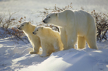 Polar Bear (Ursus maritimus) mother and two cubs, Churchill, Manitoba, Canada  -  Michio Hoshino