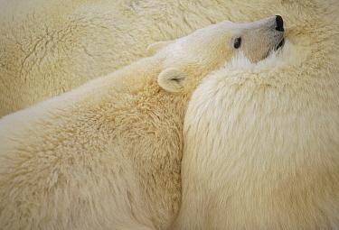 Polar Bear (Ursus maritimus) cub nuzzling mother, Churchill, Manitoba, Canada  -  Michio Hoshino