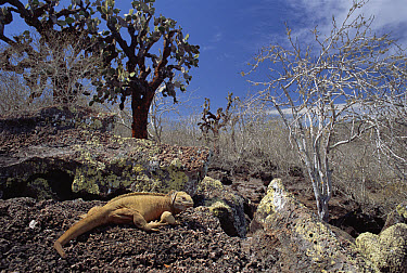 Galapagos Land Iguana (Conolophus subcristatus) and Prickly Pear (Opuntia sp) cactus, Galapagos Islands, Ecuador  -  Michio Hoshino