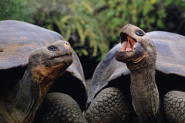 Galapagos Giant Tortoise (Chelonoidis nigra) pair communicating, Galapagos Islands, Ecuador  -  Michio Hoshino