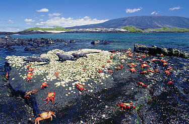 Marine Iguana (Amblyrhynchus cristatus) group with Sally Lightfoot Crabs (Grapsus grapsus), Galapagos Islands, Ecuador  -  Michio Hoshino