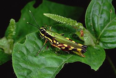 Rainforest canopy insect  -  Mark Moffett