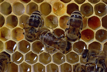 Honey Bee (Apis mellifera) workers maintaining hive, complex social behavior centers on maintaining the queen for a full life span of two to three years  -  Mark Moffett