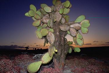 Opuntia (Opuntia echios) cactus, Galapagos Islands, Ecuador  -  Michio Hoshino