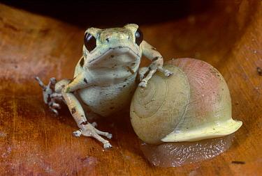 Strawberry Poison Dart Frog (Oophaga pumilio) dominant male resting on snail, Bastimentos Islands, Bocas del Toro, Panama  -  Mark Moffett