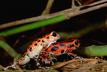 Strawberry Poison Dart Frog (Oophaga pumilio) dominant male wrestles with submissive male, Bastimentos Island, Bocas del Toro, Panama  -  Mark Moffett