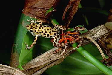 Strawberry Poison Dart Frog (Oophaga pumilio) dominant male wrestles and pins another male, Bastimentos Island, Bocas del Toro, Panama  -  Mark Moffett