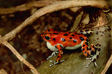 Strawberry Poison Dart Frog (Oophaga pumilio) with puffed-up vocal sack courting females with a song of insect-like chirps, Bastimentos Island, Bocas del Toro, Panama  -  Mark Moffett