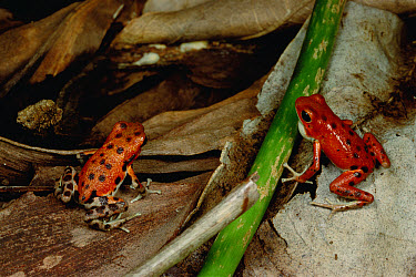 Strawberry Poison Dart Frog (Oophaga pumilio) with puffed-up vocal sack courting female with a song of insect-like chirps, Bastimentos Island, Bocas del Toro, Panama  -  Mark Moffett