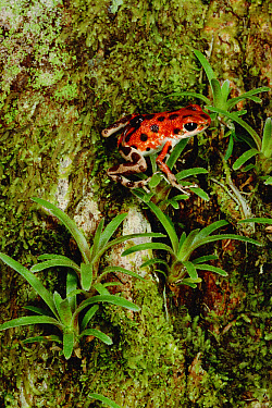 Strawberry Poison Dart Frog (Oophaga pumilio) mother carries tadpole to canopy, she lacks the toe pads or other adaptations of tree frogs and so the trip is quite arduous, Bastimentos Island, Bocas de...  -  Mark Moffett