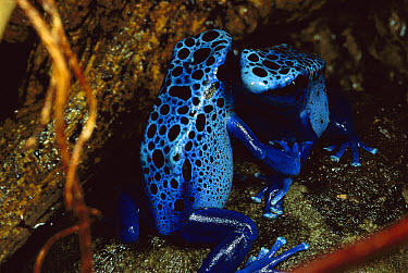 Blue Poison Dart Frog (Dendrobates azureus) pair of females fighting, very tiny poisonous frog, Indian tribes use poison for arrows, native to South America  -  Mark Moffett