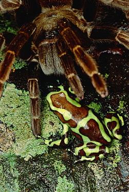 Green and Black Poison Dart Frog (Dendrobates auratus) meets a Tarantula, Taboga Island, Panama Tarantulas eat frogs but avoid Poison Dart Frogs, yet on Taboga, such encounters are common and Tarantul...  -  Mark Moffett