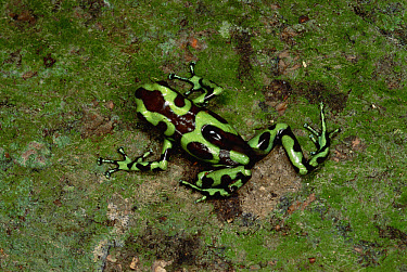 Green and Black Poison Dart Frog (Dendrobates auratus) father carrying tadpoles to treetop pool, Taboga Island, Panama  -  Mark Moffett