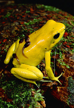 Golden Poison Dart Frog (Phyllobates terribilis) the most poisonous of the dart frogs, male carrying tadpoles on his back, Colombia  -  Mark Moffett