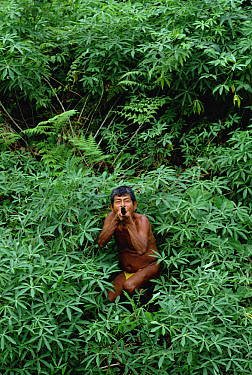 Embera Choco people use a distinctive kind of blowgun and secretion from Golden Poison Dart Frog (Phyllobates terribilis) to poison on their darts for hunting, Colombia  -  Mark Moffett