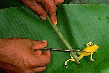 Golden Poison Dart Frog (Phyllobates terribilis) being used to poison an arrow that makes it deadly enough to bring down game, Colombia  -  Mark Moffett