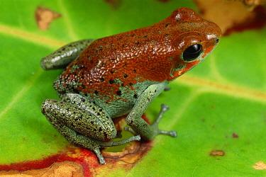 Strawberry Poison Dart Frog (Oophaga pumilio), Bastimentos Island, Panama  -  Mark Moffett