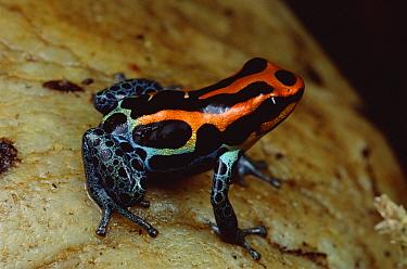 Rio Madeira Poison Frog (Dendrobates quinquevittatus) portrait, Peruvian lowlands  -  Mark Moffett