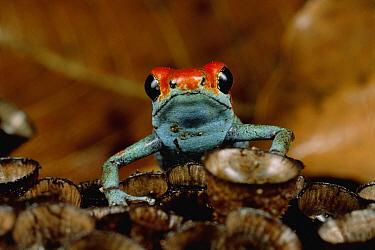 Granular Poison Dart Frog (Dendrobates granuliferus) on bird's nest fungus, Corcavado National Park, Costa Rica  -  Mark Moffett
