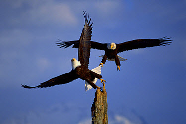 Bald Eagle (Haliaeetus leucocephalus) pair landing on snag, Alaska  -  Michio Hoshino