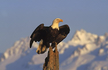 Bald Eagle (Haliaeetus leucocephalus) perching on a snag, Alaska  -  Michio Hoshino
