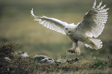 Snowy Owl (Nyctea scandiaca) parent landing on tundra nest with owlets, Alaska  -  Michio Hoshino