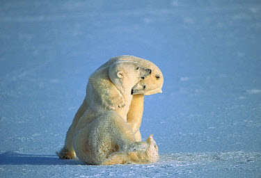 Polar Bear (Ursus maritimus) males play fighting, Churchill, Manitoba, Canada  -  Michio Hoshino