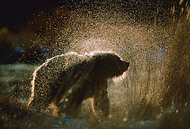Grizzly Bear (Ursus arctos horribilis) shaking off water after a bath, Alaska  -  Michio Hoshino