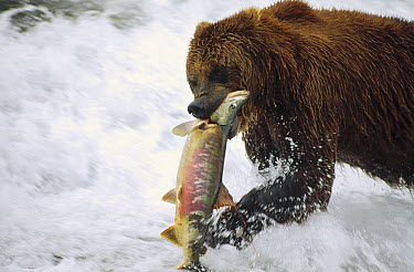 Grizzly Bear (Ursus arctos horribilis) catching salmon, Alaska  -  Michio Hoshino