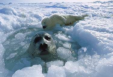 Harp Seal (Phoca groenlandicus) mother surfacing at ice hole to tend to her newborn pup, Gulf of St Lawrence, Canada  -  Michio Hoshino