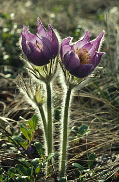 Pasque Flower (Pulsatilla sp) pair backlit, Alaska  -  Michio Hoshino