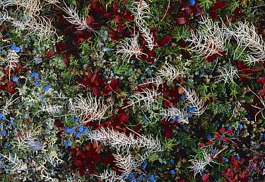Bearberry (Arctostaphylos uva ursi), Blueberry (Vaccinium sp), and Horsetail (Equisetum sp) in trundra, Alaska  -  Michio Hoshino