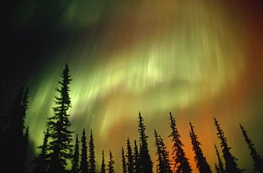 Aurora borealis over forest, Alaska  -  Michio Hoshino